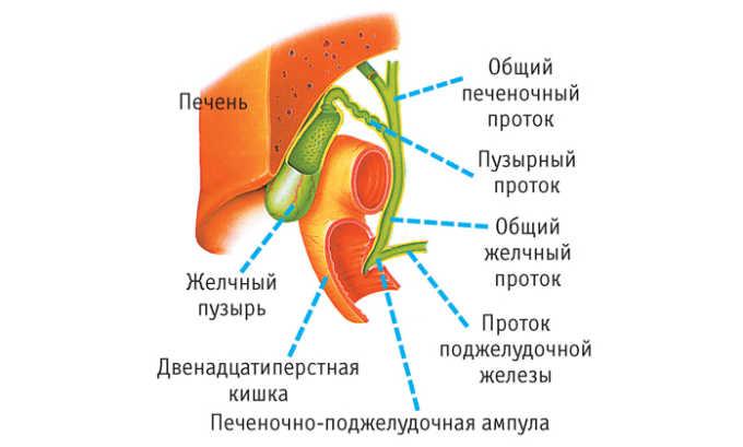 Употребление брокколи стимулирует выделение желчи