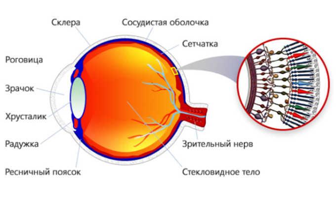 Укрепление сетчатки глаз, является полезным свойством брокколи