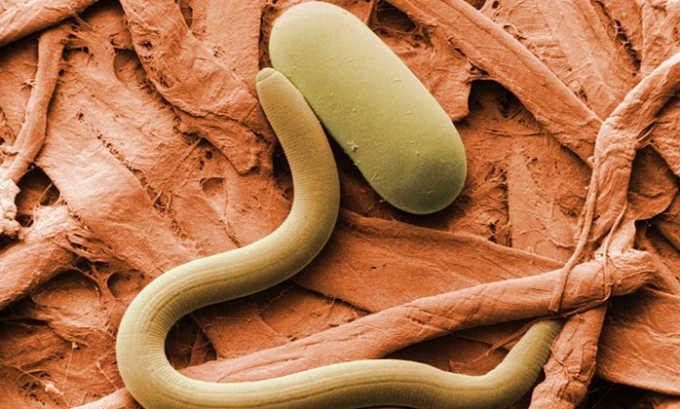 Предупреждать глистные инфекции помогает не заболеть панкреатитом