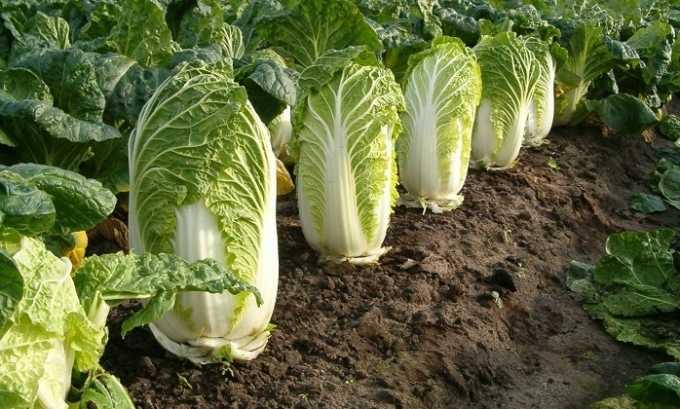 Для борща, который можно есть при панкреатите, нужно использовать пекинскую капусту