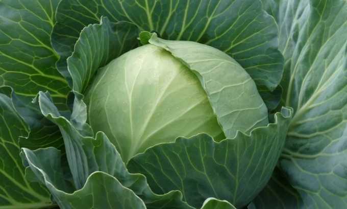Белокочанная капуста, несмотря на большое содержание витаминов, из питания больного исключается