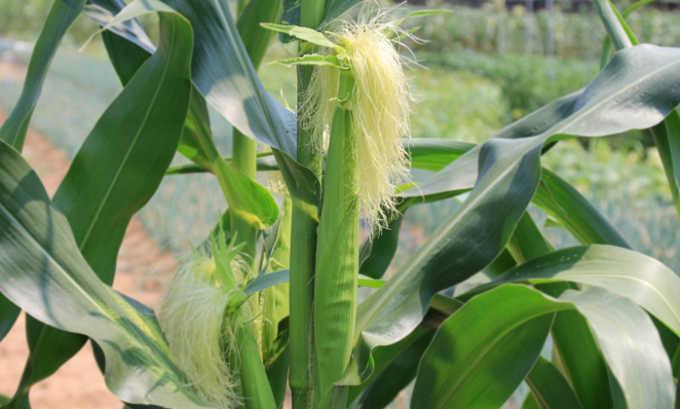 Также в состав сбора входят рыльца кукурузные