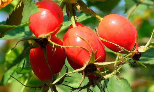 Есть группа препаратов созданных на основе плодов шиповника