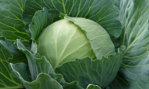 Капуста при панкреатите чаще всего запрещается из-за того, что многие виды этого распространенного овоща обладают грубой структурой волокон