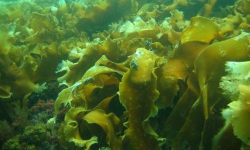 При заболевании в острой форме от морской капусты лучше отказаться, поскольку она может вызвать колику и диарею