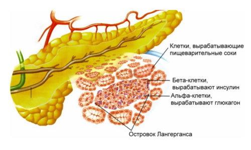 В поджелудочной железе синтезируются ферменты (трипсин, химотрипсин, липаза, протеаза) и гормоны (глюкагон, инсулин), которые участвуют в обменных процессах и пищеварении